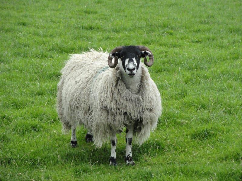 Download Овцы стоковое изображение. изображение насчитывающей шерсти - 40578091
