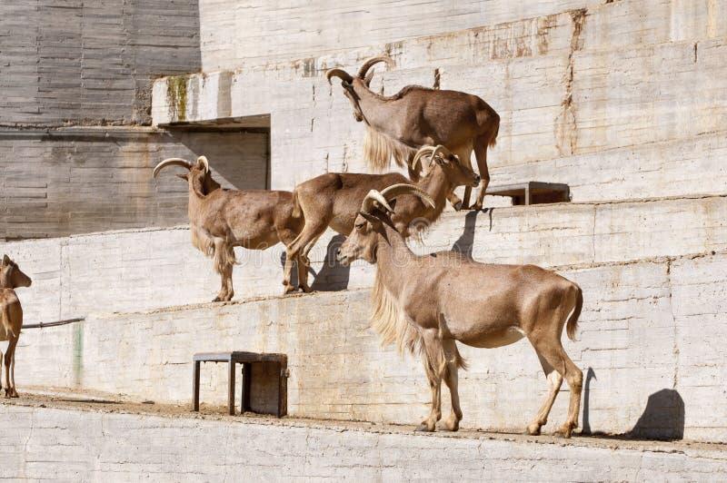 Овцы Barbary стоковая фотография rf