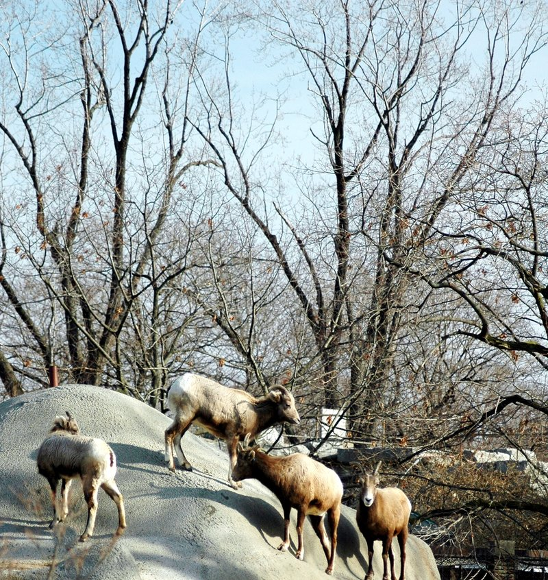 Download овцы bighorn стоковое изображение. изображение насчитывающей бело - 492403