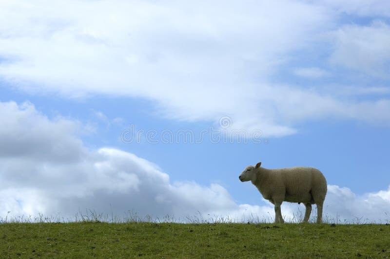 овцы dike стоковые изображения rf