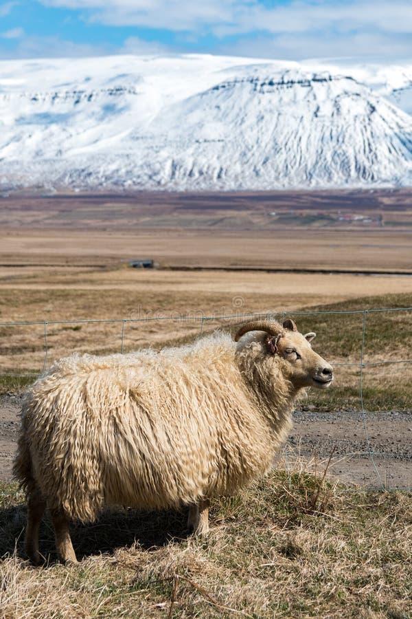 овцы icelandic Исландии стоковые изображения