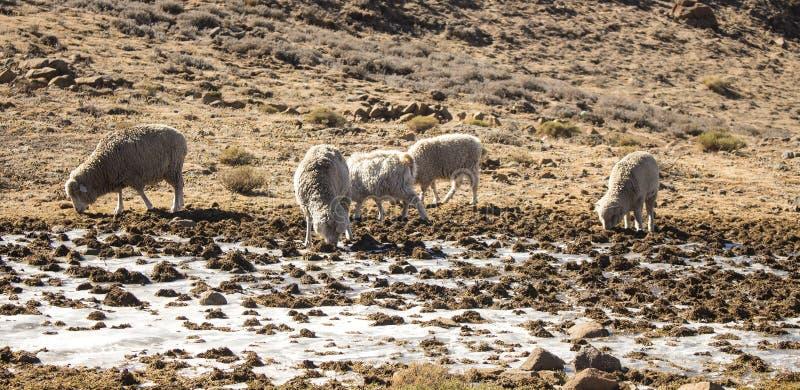 Овцы Merino и козы Ангоры табунят питание внутри Drakensberg, Лесото стоковые изображения rf