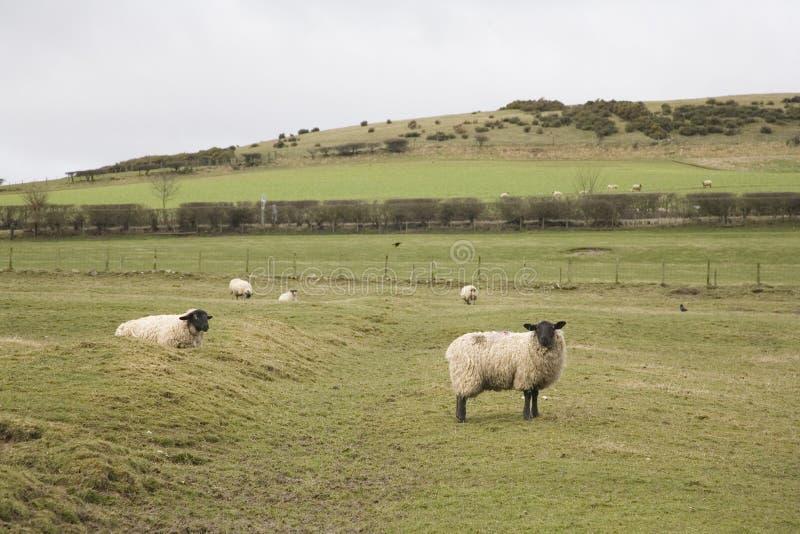 овцы northumberland стоковые фотографии rf