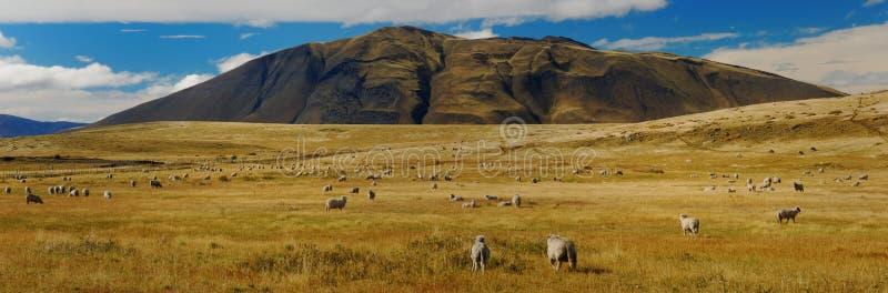 овцы patagonia стоковое изображение