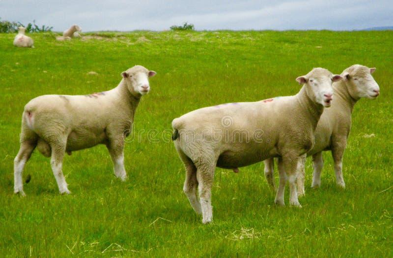 Овцы pooping стоковые изображения rf
