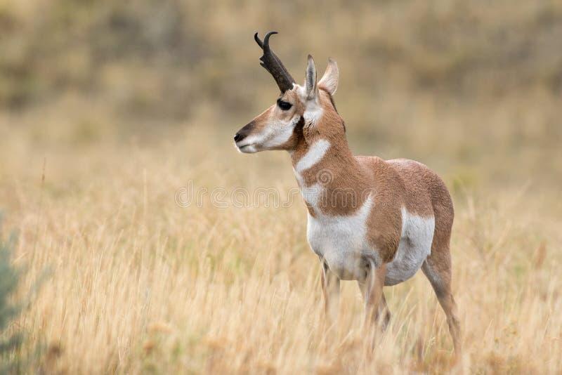 Овцы Pronghorn стоковое фото rf