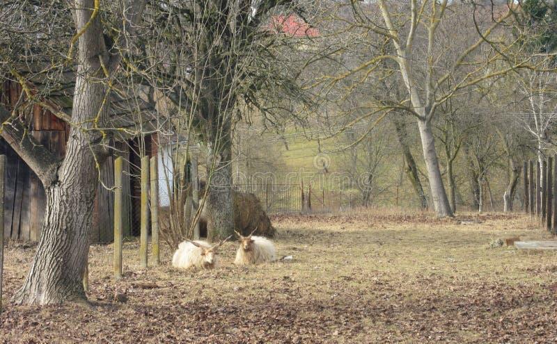 Овцы Restin стоковые изображения rf
