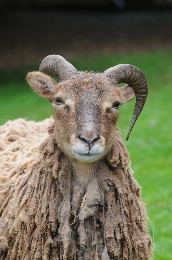 овцы soay стоковые изображения