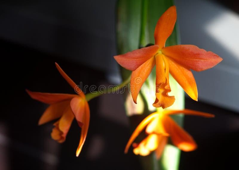 Оглушать оранжевая орхидея в цветени стоковые фотографии rf