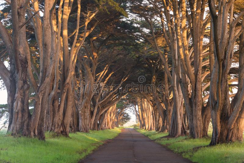 Оглушать тоннель кипариса на Seashore Reyes пункта национальном, Калифорния, Соединенных Штатах Деревья сказки в красивом дне стоковые фотографии rf