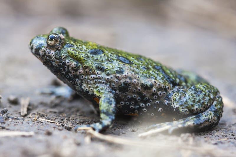 Огн-bellied европейцем bombina Bombina жабы огн-bellied уроженец жабы к материку Европе стоковые фото