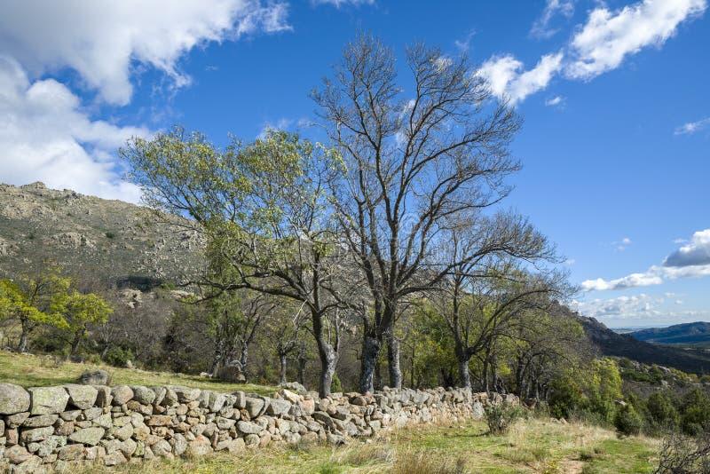Оголите Узк-листанное дерево золы, angustifolia Fraxinus стоковая фотография
