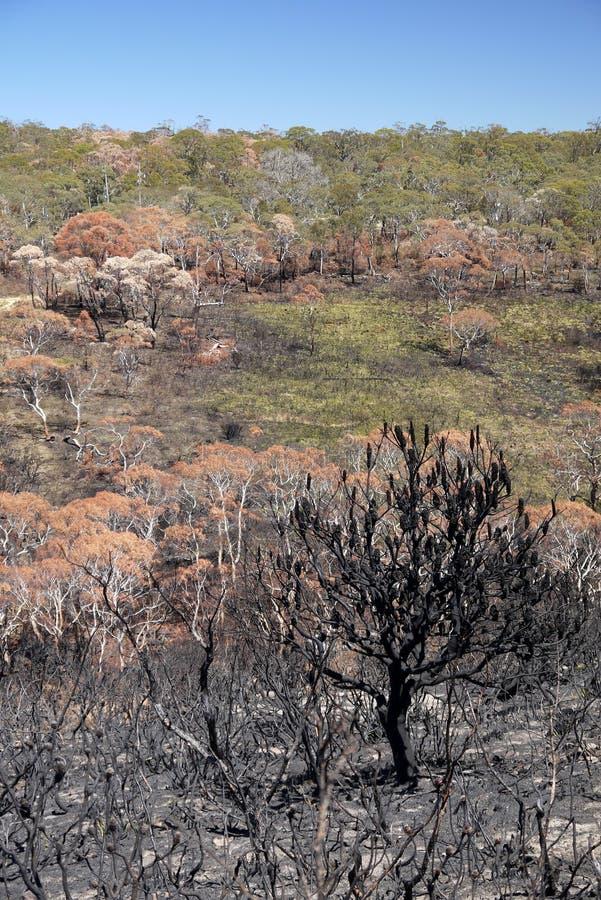 Огонь Австралии куста: сгорели горный склон с banksia стоковое изображение rf