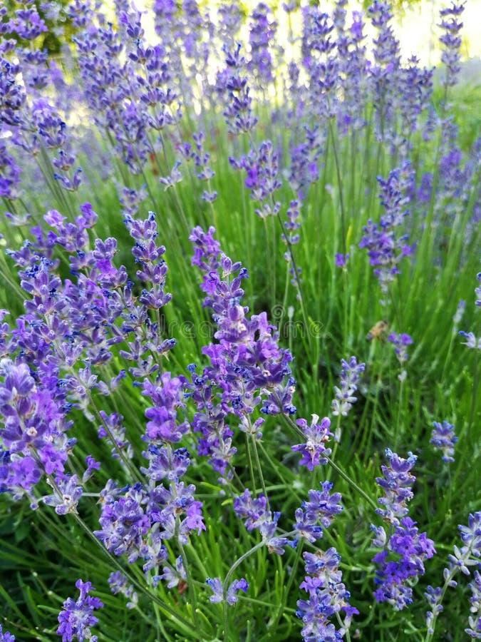 Огород лаванды стоковая фотография