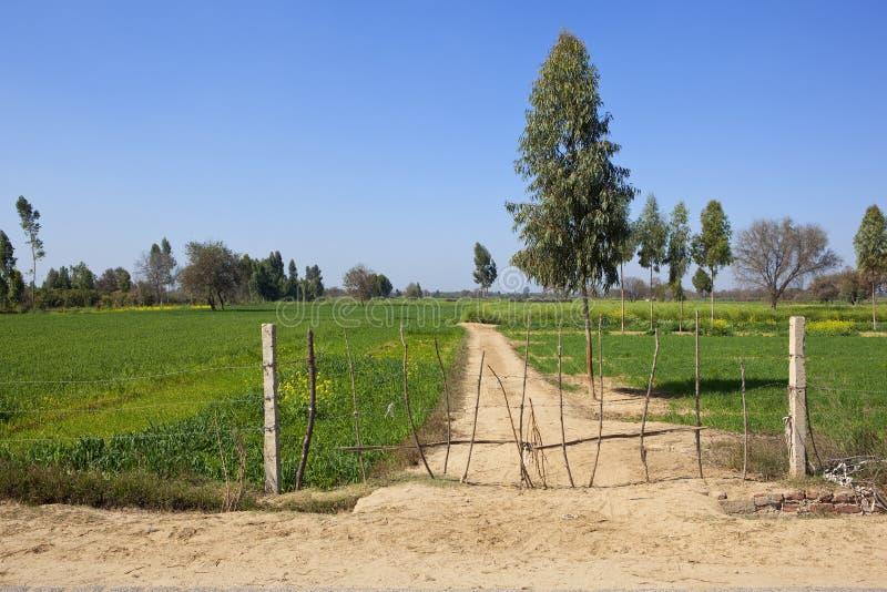 Ограженный след с урожаями пшеницы в Раджастхане стоковые изображения