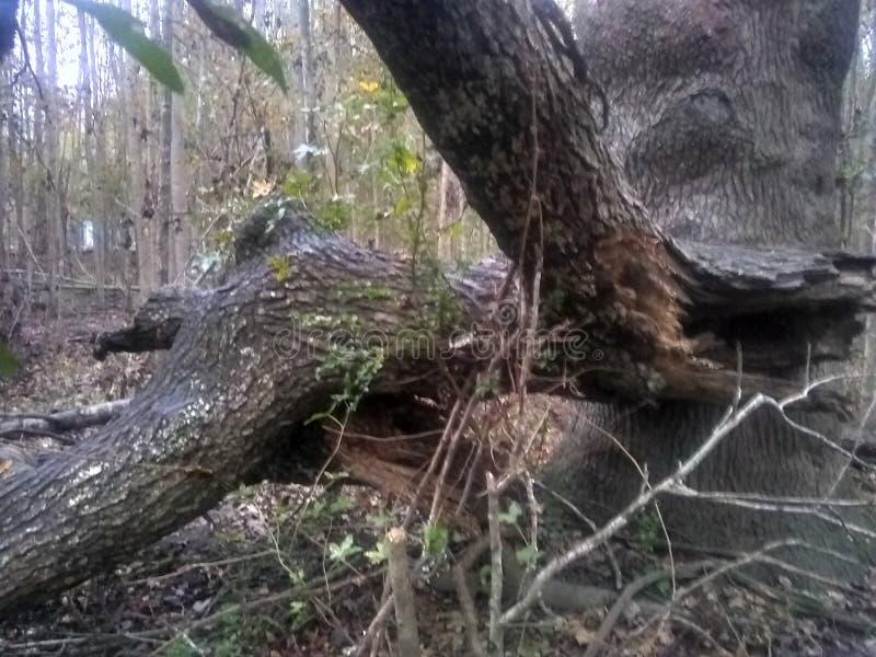 Огромная ветвь клена стоковое изображение