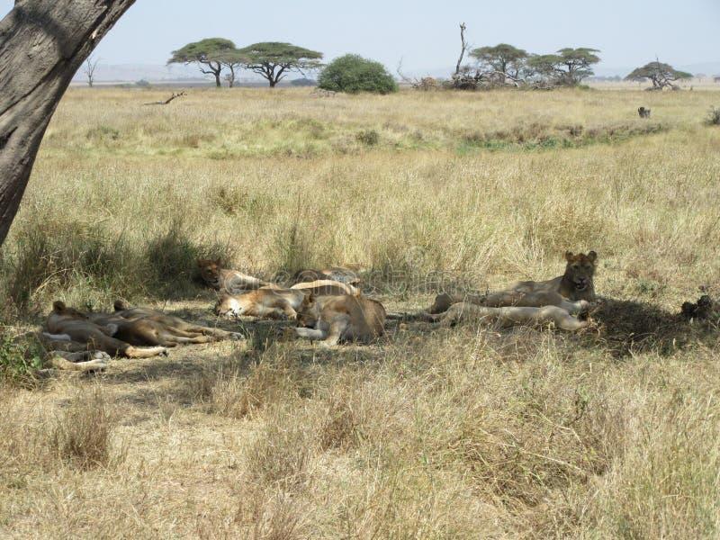 Огромная группа в составе львы лежа под деревом в тени в национальном парке Serengeti стоковые изображения rf