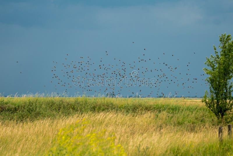 Огромная группа starling стоковые изображения rf