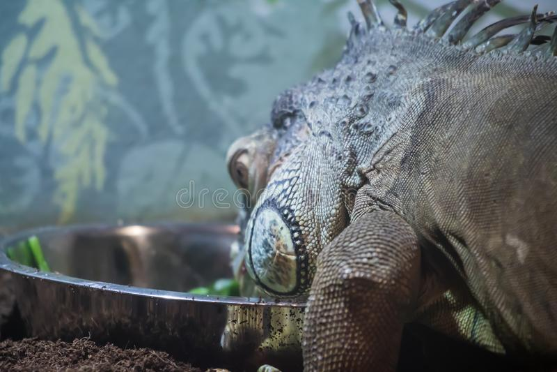 Огромная еда игуаны гада стоковые фото