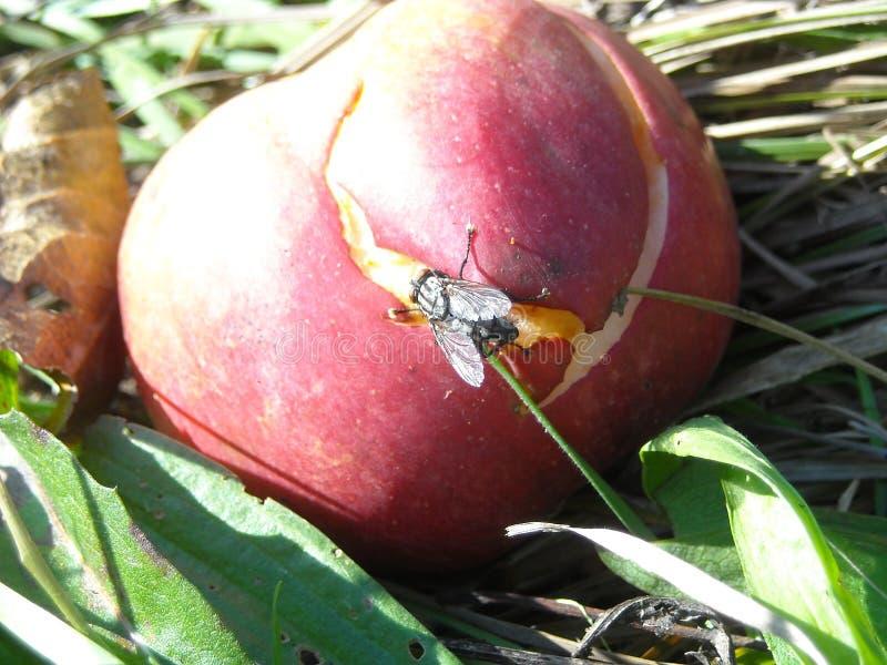 Огромная муха на разваленном яблоке стоковое фото rf