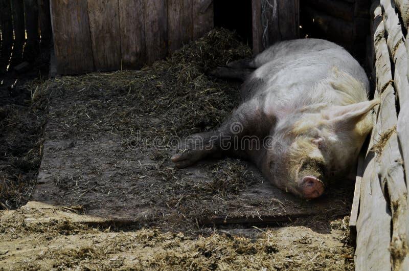 Огромная свинья спать в амбаре стоковые фотографии rf