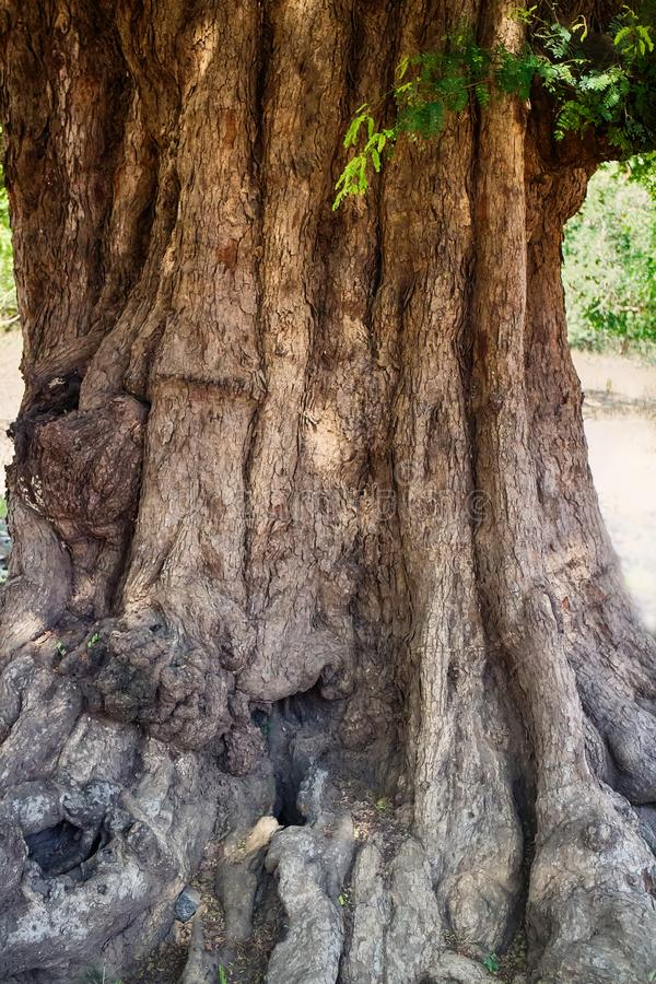 огромное дерево акации с gnarled временем хобота много сотен лет стоковые фотографии rf