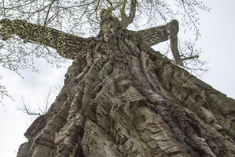 Огромное дерево с произнесенной расшивой стоковые фото