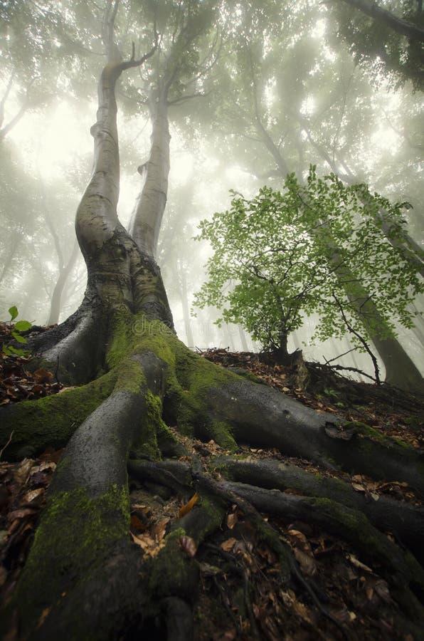 Огромное дерево с большими корнями в лесе с туманом ...