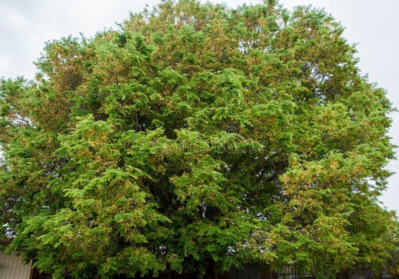 Огромное дерево тамаринда, Tamarindus indica, в цветке стоковые фотографии rf