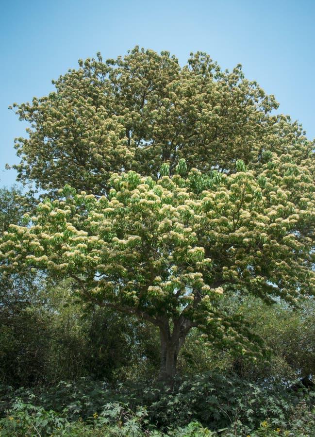 Огромное положение дерева зацвело с крошечными цветками стоковое фото rf