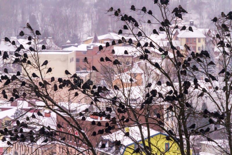 Огромное стадо ворон сидит на деревьях против фона wi стоковые изображения rf