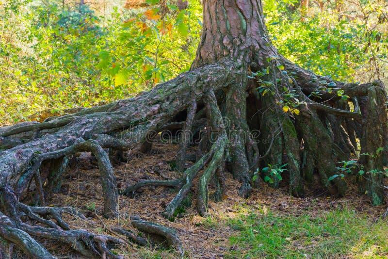 Огромно большие обнаженные корни дерева над землей в сцене ландшафта леса стоковое изображение rf