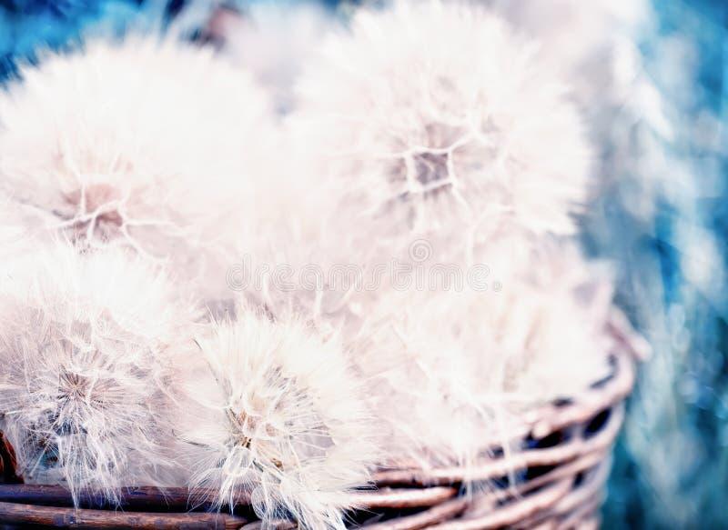 Огромные пушистые белые шарики зацветенных цветков одуванчика стоковые изображения