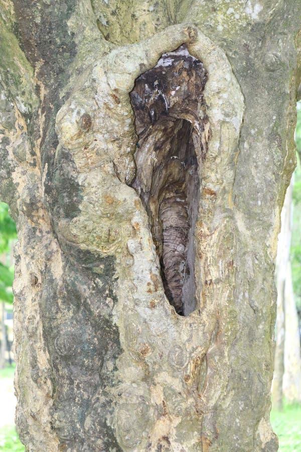 Огромные стволы дерева в полости большие корни и солнечный луч дерева в корнях зеленых forestSpring луга одного большого дерева с стоковое фото
