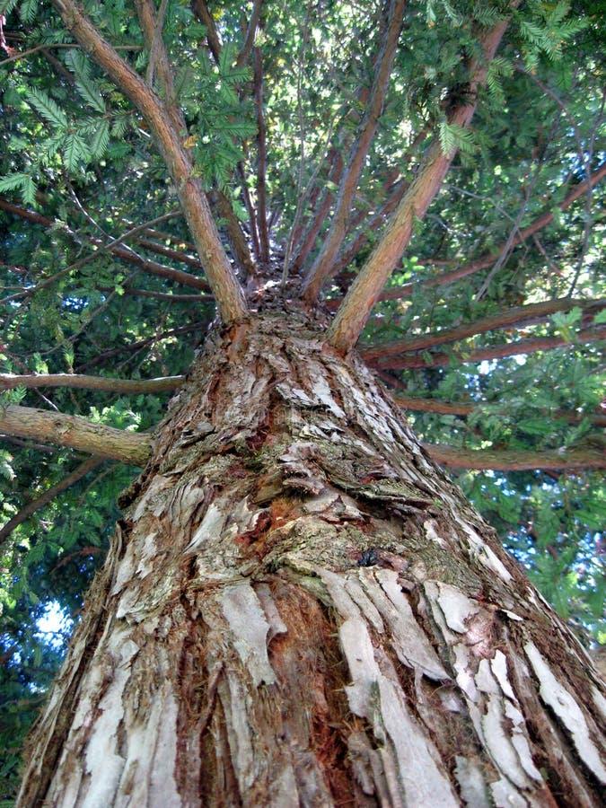 огромный вал redwood стоковое фото