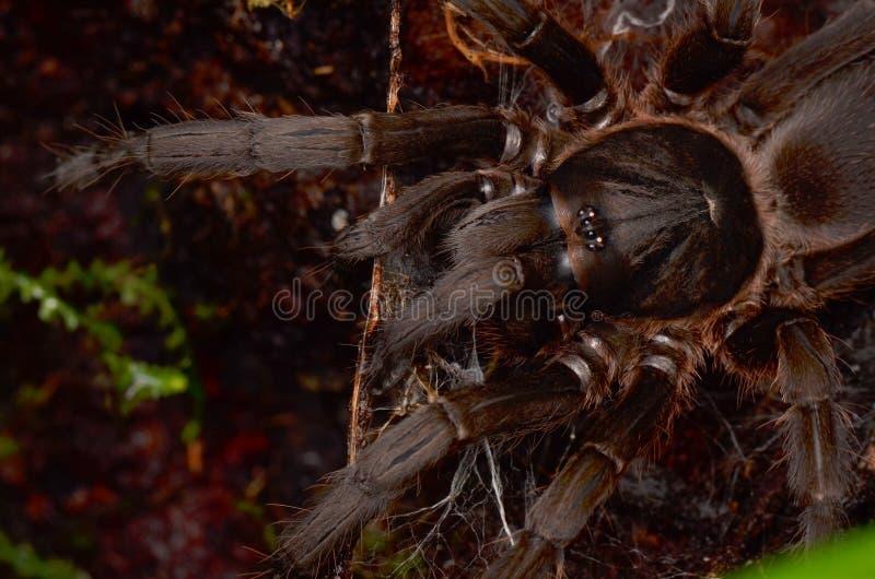 Огромный волосатый тарантул стоковая фотография rf