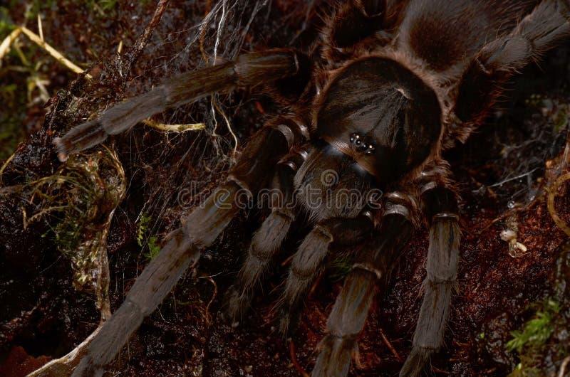 Огромный волосатый тарантул стоковое изображение rf