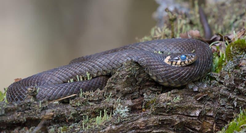 Огромный класть змейки травы окруженный на лишайник дерева покрыл вых стоковое фото rf