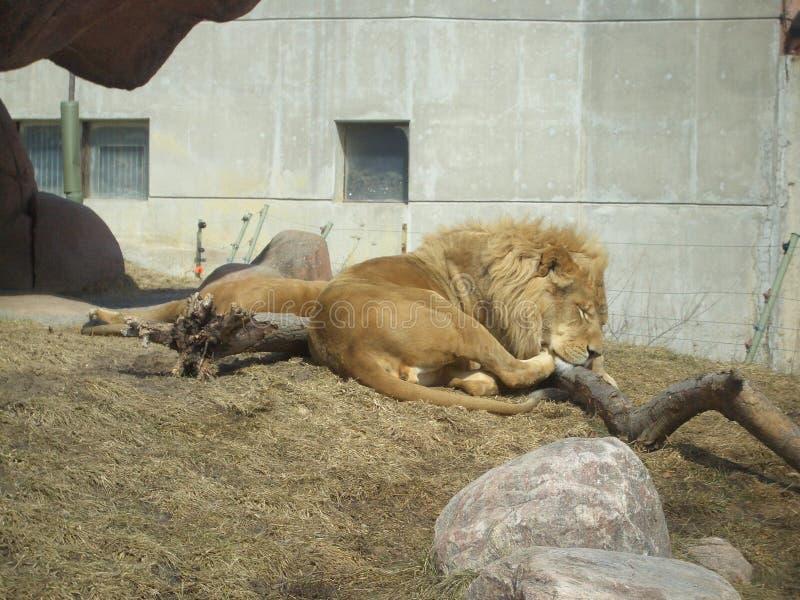 Огромный лев имея ворсину на зоопарке Торонто стоковые изображения