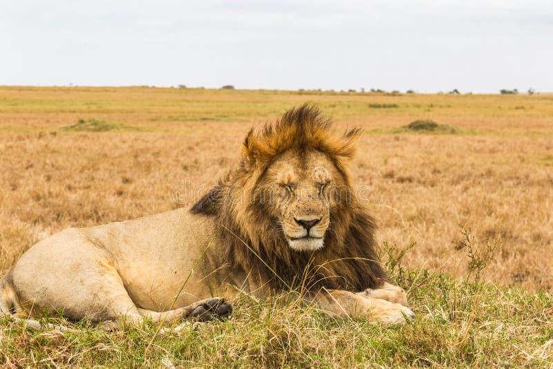 Огромный ленивый лев отдыхает на холме Masai Mara, Африка стоковые изображения rf
