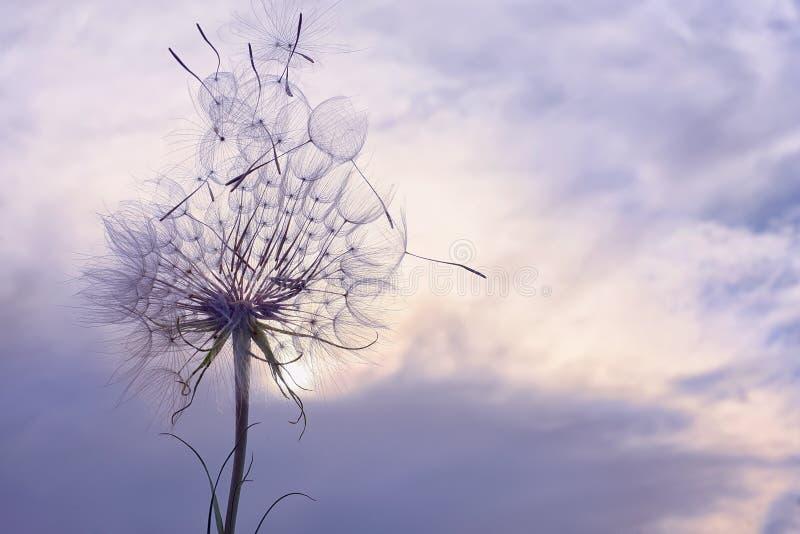 Огромный пушистый белый одуванчик против неба стоковое фото