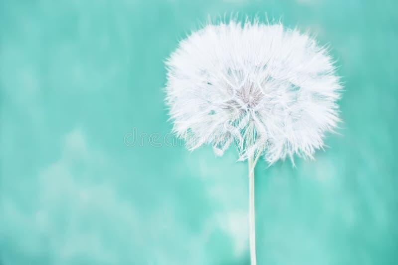 Огромный пушистый белый шарик цветка одуванчика стоковые изображения rf