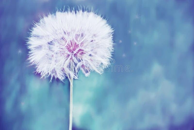 Огромный пушистый белый шарик цветка одуванчика стоковое изображение
