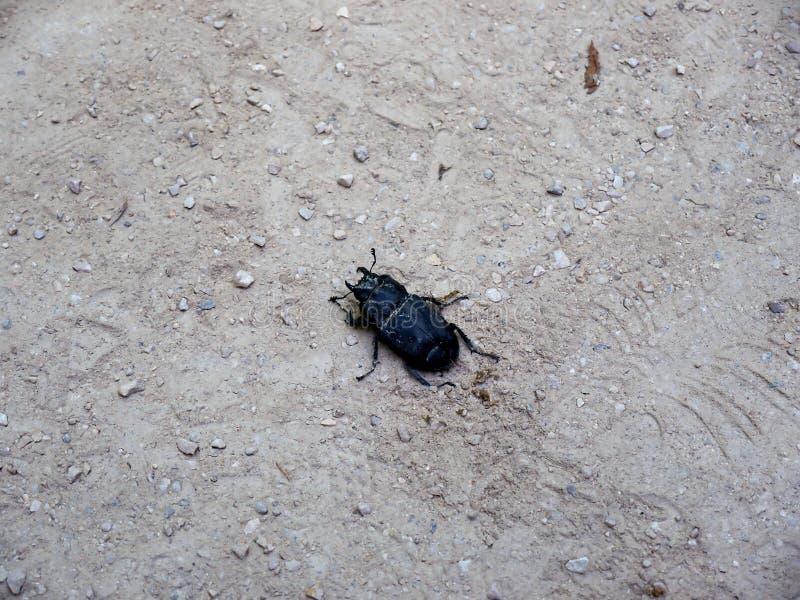 Огромный черный жук в саде дворца Monserrate в Sintra Португалии стоковое изображение rf