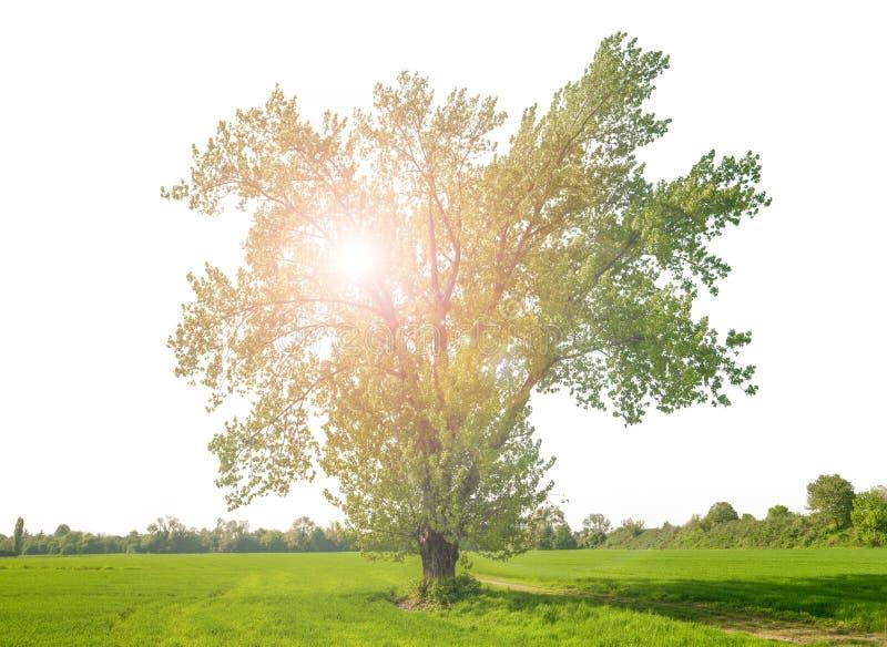 Огромным дерево изолированное зеленым цветом с отраженным светом стоковое фото rf
