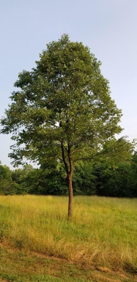 Одинокое дерево на залитом солнцем лугу - Северная Джорджия - ферма МакРстоковые фотографии rf