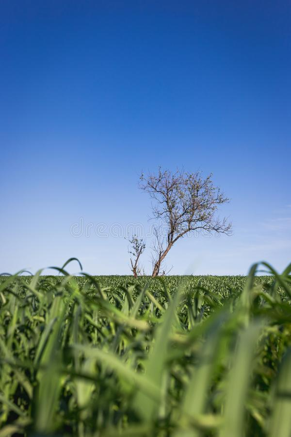 Одиноко зеленое дерево в середине поля стоковое изображение