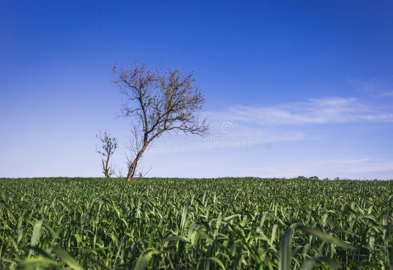 Одиноко зеленое дерево в середине поля стоковое изображение rf
