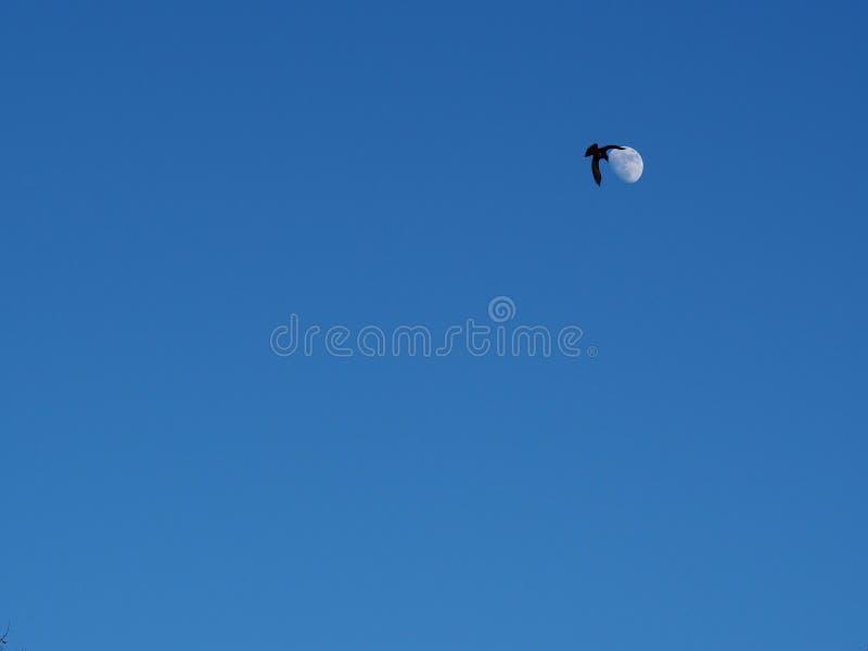 Одиночная ворона поворачивает и silhouetted против луны стоковые изображения