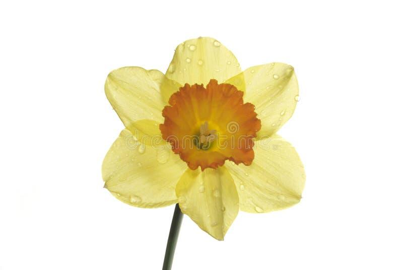 одиночная изолированная daffodil стоковые фото